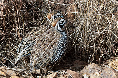 Photograph - Montezuma Quail In The Patagonia Mountains by Kathleen Bishop