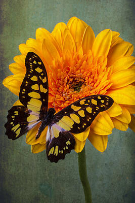 Gerbera Daisy Photograph - Moody Butterfly by Garry Gay