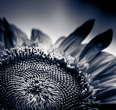 Moody Sunflower Art Print by Isabel Laurent