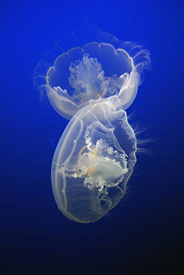 Photograph - Moon Jelly Pair by Hiroya Minakuchi