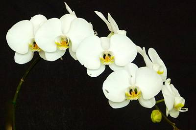 Photograph - Moon Orchid On Black Background by Richard Bryce and Family