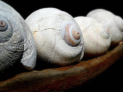 Photograph - Moon Shells by Micki Findlay