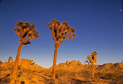 Photograph - Moon Sun And Joshua Trees by Kunal Mehra