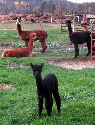 Photograph - Moonacre Alpacas 3 by Ishana Ingerman
