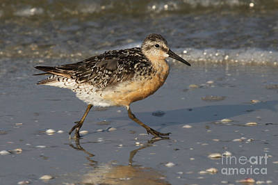 Photograph - Moonbird - Red Knot by Meg Rousher
