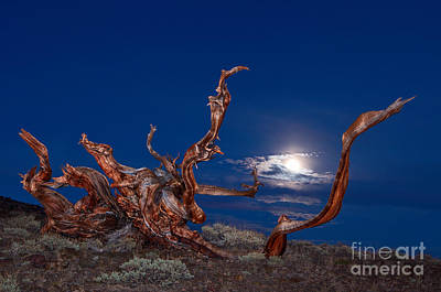 Moonlight Dance - Light Painting Night View Of The Ancient Bristlecone Pine Forest Tree. Art Print