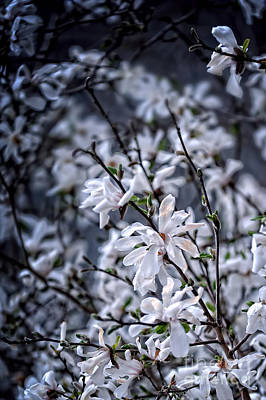 Moonlit Night Photograph - Moonlit Blossoms by HD Connelly