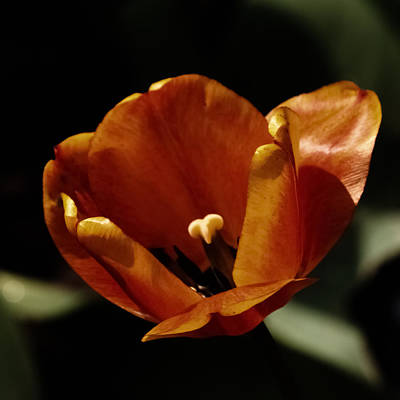 Photograph - Moonlit Tulip 3d22502 by Guy Whiteley