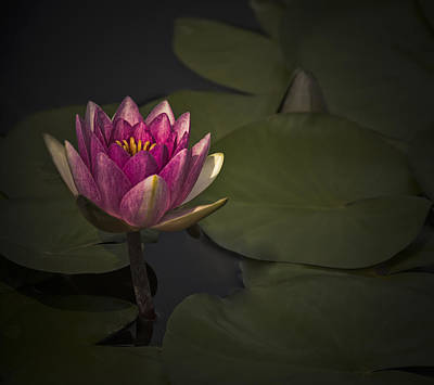 Digital Art - Moonlit Waterlily by Jill Balsam