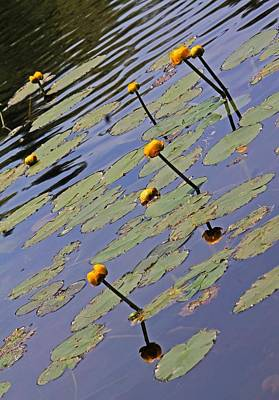 Photograph - Moore State Park Lily Pads 1 by Michael Saunders