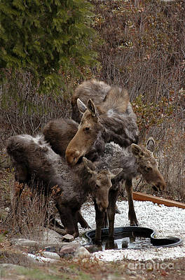 Photograph - 815p Moose And Babies by NightVisions