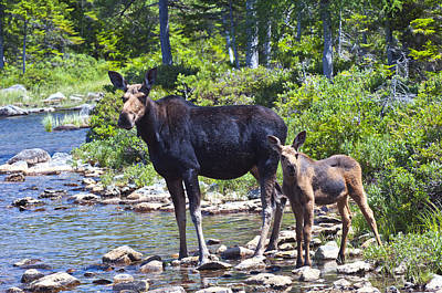 Photograph - Moose And Baby 4 by Glenn Gordon