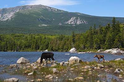 Photograph - Moose Baxter State Park Maine by Glenn Gordon