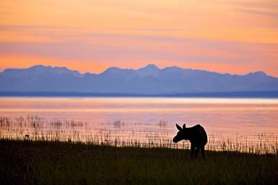 Moose Calf Feeding Along The Tony Art Print by Kevin Smith