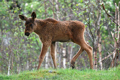 Photograph - Moose Calf by Phil Banks