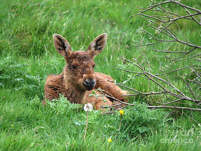 Photograph - Moose Calf Under Willow by Phil Banks
