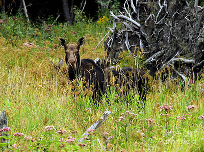 Photograph - Moose Cow And Calf by Butch Lombardi