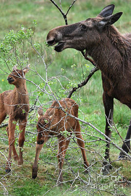 Photograph - Moose Cow With Twin Calves by Phil Banks