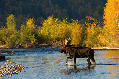 Art Print featuring the photograph Moose Crossing by Aaron Whittemore
