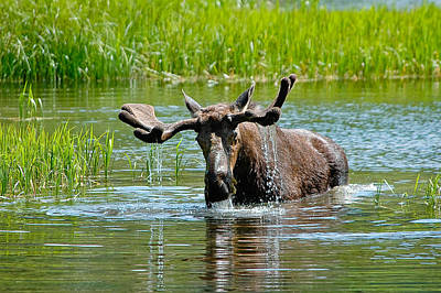 Photograph - Moose  by Don and Bonnie Fink