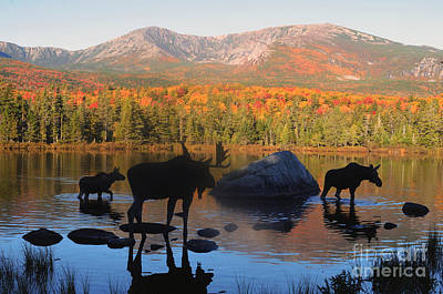 Photograph - Moose Family Scenic by Jane Axman