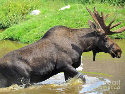 Photograph - Moose by France Laliberte