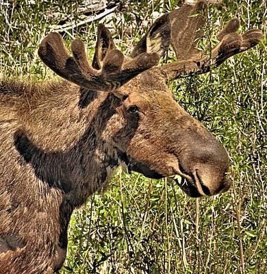 Moose Head Art Print