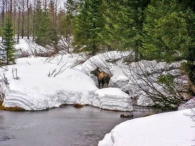 Photograph - Moose In Alaska by Amanda Smith