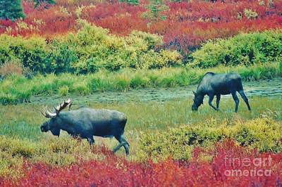 Photograph - Moose In Denali by D Hackett