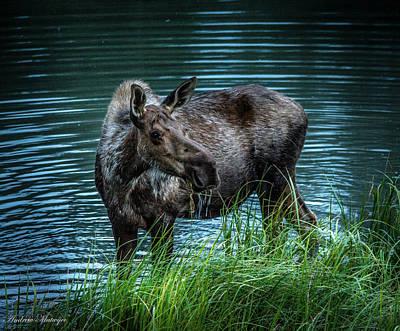 Moose In The Water Art Print