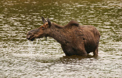 Photograph - Moose In The Wilderness by Jeannette Hunt