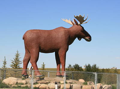 Photograph - Moose Jaw Moose by Betty-Anne McDonald