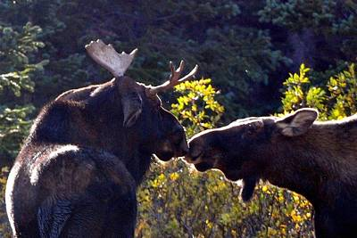 Photograph - Moose Kisses by Marilyn Burton
