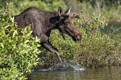 Quebec Fauna Photograph - Moose Makes A Splash by Paul W Sharpe Aka Wizard of Wonders
