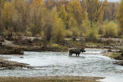 Photograph - Moose Mid-stream - Grand Tetons by Belinda Greb
