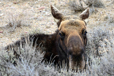 Photograph - Moose Mugshot by Eric Nielsen