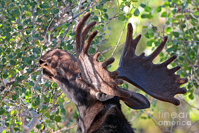 Photograph - Moose Munch by Bill Singleton