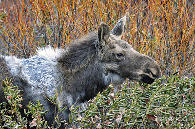 Photograph - 825p Moose by NightVisions