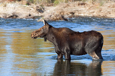 Moose Photograph - Moose On The  Gros Ventre River by Gary Langley