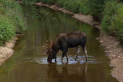 Photograph - Moose Sipping Water by Angelique Rea