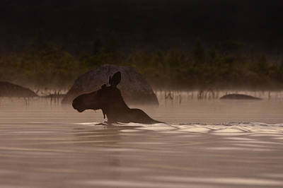 Fog Photograph - Moose Swim by Brent L Ander