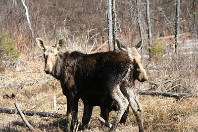 Photograph - Moose X Two by Carolyn Reinhart