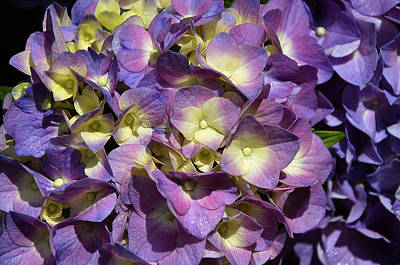 Photograph - Mophead Hydrangeas by Paul Mashburn