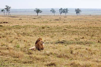 Photograph - Morani The Lion On The Savannah by June Jacobsen