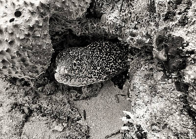 Photograph - Moray Eel In Puerto Morelos by For Ninety One Days