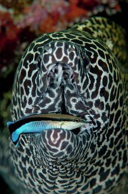 Blackspotted Photograph - Moray Eel With Cleaner Wrasse by Scubazoo