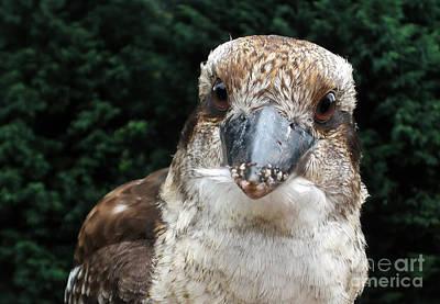 Photograph - More Food Please - Kookaburra 1 by Kaye Menner