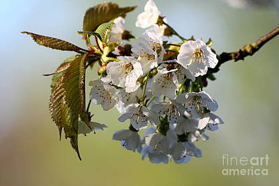 Photograph - More Spring Flowers by Jeremy Hayden