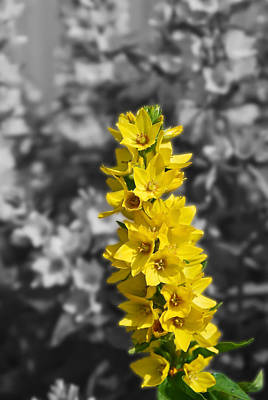 Photograph - More Yellow by Guy Whiteley