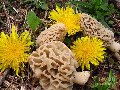 Photograph - Morels And Dandelions by Timothy Myles